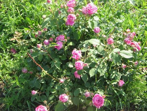 trandafiri-dulceata